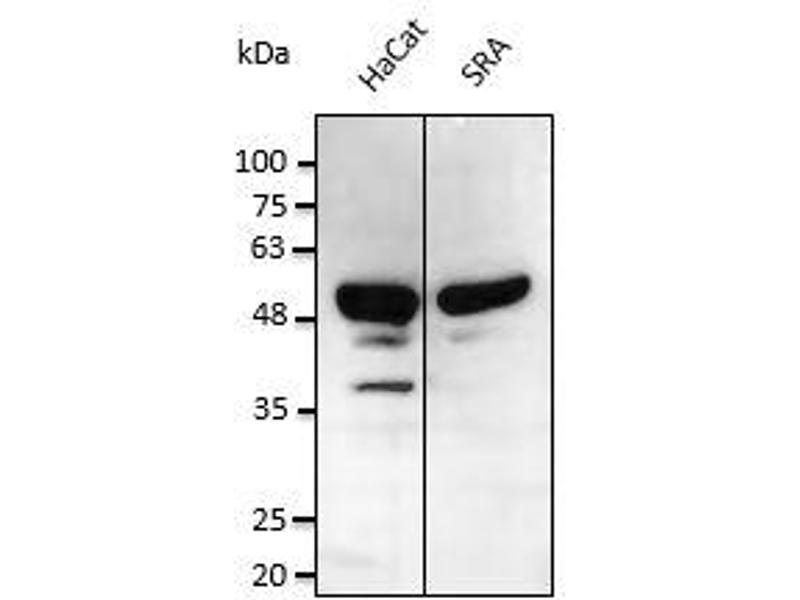 Western Blotting (WB) image for anti-Tumor Protein P53 (TP53) (C-Term) antibody (ABIN6254175)