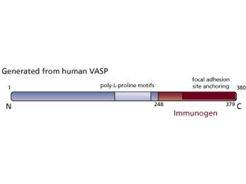 Image no. 3 for anti-Vasodilator-Stimulated phosphoprotein (VASP) (AA 248-379) antibody (ABIN967977)