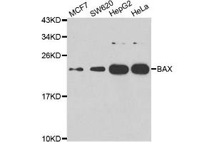Image no. 1 for anti-BCL2-Associated X Protein (BAX) antibody (ABIN2561333)