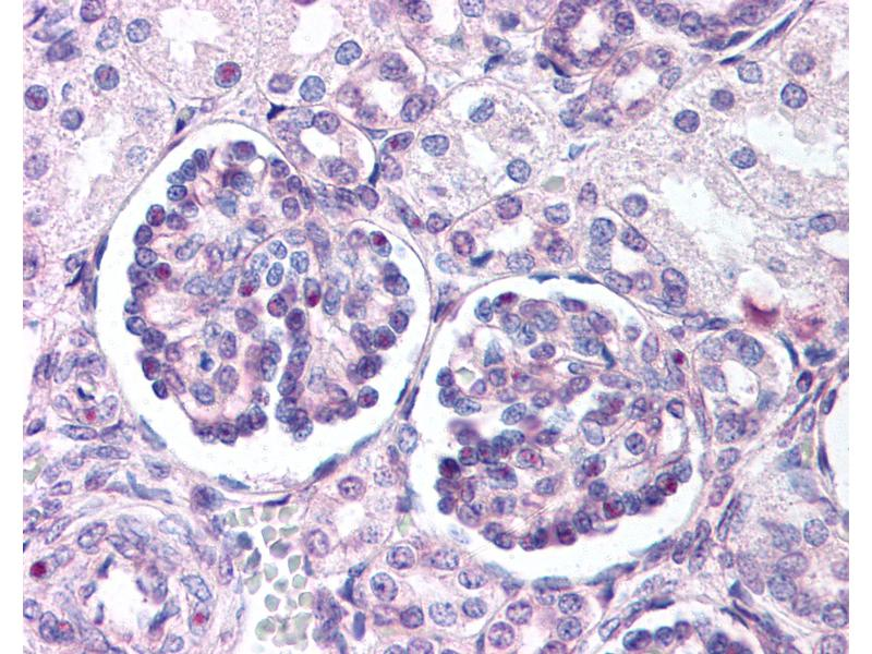 Immunohistochemistry (IHC) image for anti-Wingless-Type MMTV Integration Site Family, Member 9B (WNT9B) (Internal Region) antibody (ABIN1049489)