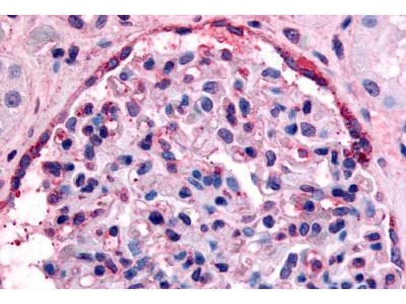 Immunohistochemistry (Paraffin-embedded Sections) (IHC (p)) image for anti-EPH Receptor A4 (EPHA4) (C-Term) antibody (ABIN213398)
