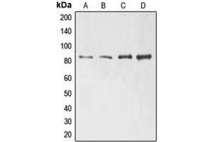 Image no. 1 for anti-Engulfment and Cell Motility 1 (ELMO1) (N-Term) antibody (ABIN2707494)