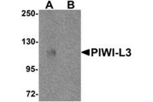 Western Blotting (WB) image for anti-Piwi-Like 3 (Drosophila) (PIWIL3) (N-Term) antibody (ABIN783769)