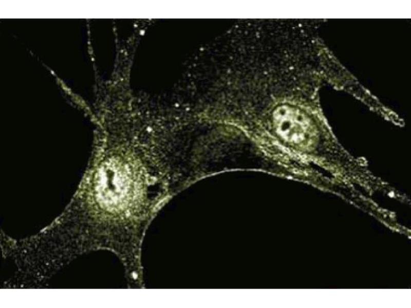 Immunofluorescence (IF) image for anti-Fibroblast Growth Factor 2 (Basic) (FGF2) (AA 1-155) antibody (ABIN967726)
