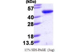 Image no. 1 for PIN2/TERF1 Interacting, Telomerase Inhibitor 1 (PINX1) (AA 1-328) protein (His tag) (ABIN666767)