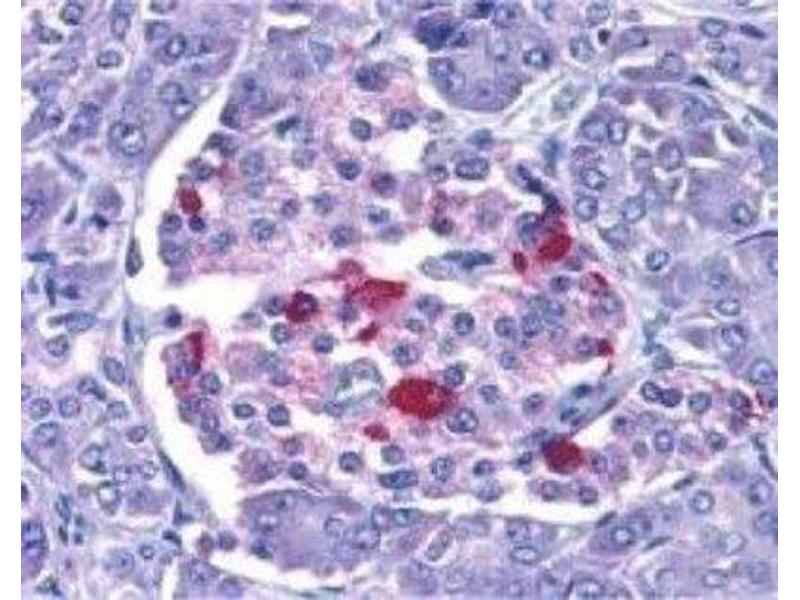 Immunohistochemistry (Paraffin-embedded Sections) (IHC (p)) image for anti-Endonuclease G antibody (ENDOG) (ABIN4308033)