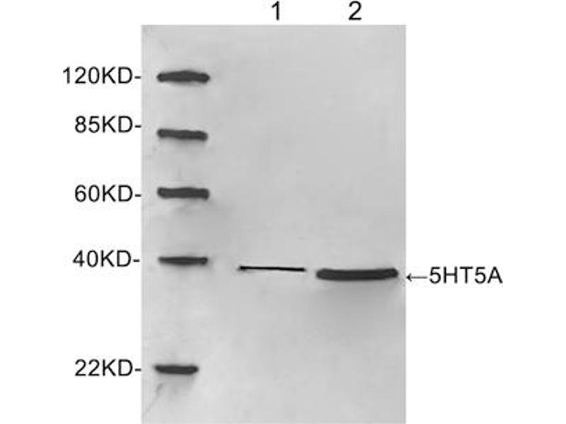 Western Blotting (WB) image for anti-Serotonin Receptor 5A antibody (HTR5A) (3rd Cytoplasmic Loop) (ABIN1574046)