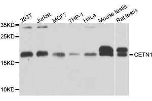 Image no. 1 for anti-Centrin, EF-Hand Protein, 1 (CETN1) antibody (ABIN6138440)