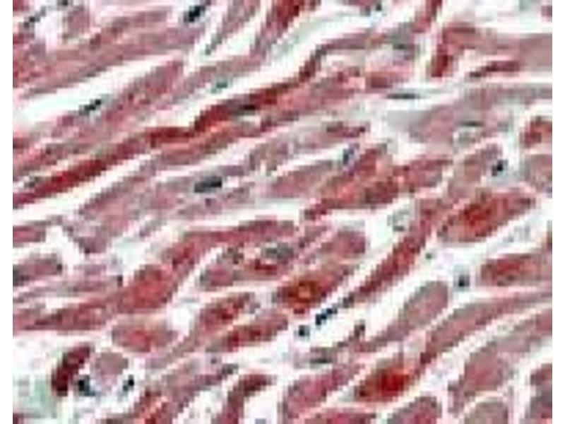image for anti-Prostaglandin-Endoperoxide Synthase 1 (Prostaglandin G/H Synthase and Cyclooxygenase) (PTGS1) (C-Term) antibody (ABIN782890)