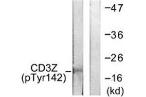 Western Blotting (WB) image for anti-CD247 Molecule (CD247) (AA 111-160), (pTyr142) antibody (ABIN1531309)