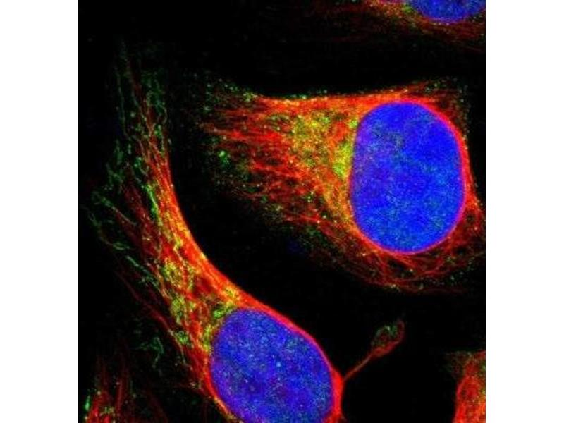 Immunofluorescence (IF) image for anti-ELMO/CED-12 Domain Containing 3 (ELMOD3) 抗体 (ABIN4349531)