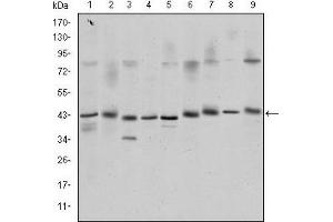 Western Blotting (WB) image for anti-cAMP Responsive Element Binding Protein 1 (CREB1) antibody (ABIN1106831)