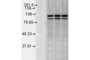 Western Blotting (WB) image for anti-Calnexin (CANX) (C-Term) antibody (Atto 565) (ABIN2481632)
