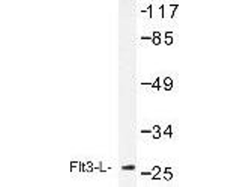 Western Blotting (WB) image for anti-FLT3LG Antikörper (Fms-Related tyrosine Kinase 3 Ligand) (ABIN439097)