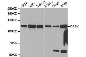 Image no. 3 for anti-Calcium/calmodulin-Dependent serine Protein Kinase (MAGUK Family) (CASK) antibody (ABIN3023316)