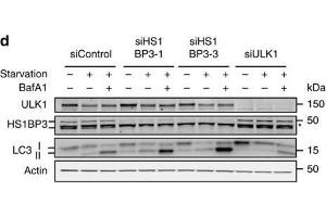 Image no. 3 for anti-HCLS1 Binding Protein 3 (HS1BP3) (C-Term) antibody (ABIN2856526)