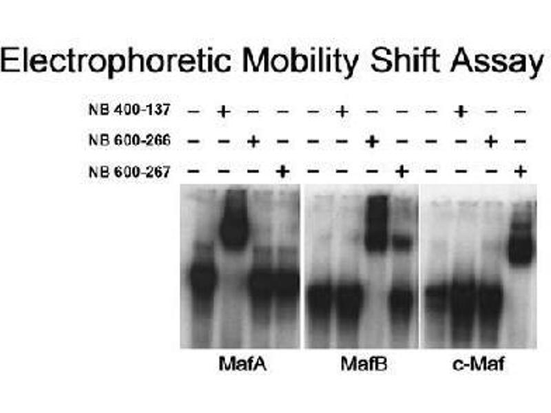 Western Blotting (WB) image for anti-V-Maf Musculoaponeurotic Fibrosarcoma Oncogene Homolog A (Avian) (MAFA) (C-Term) antibody (ABIN152904)