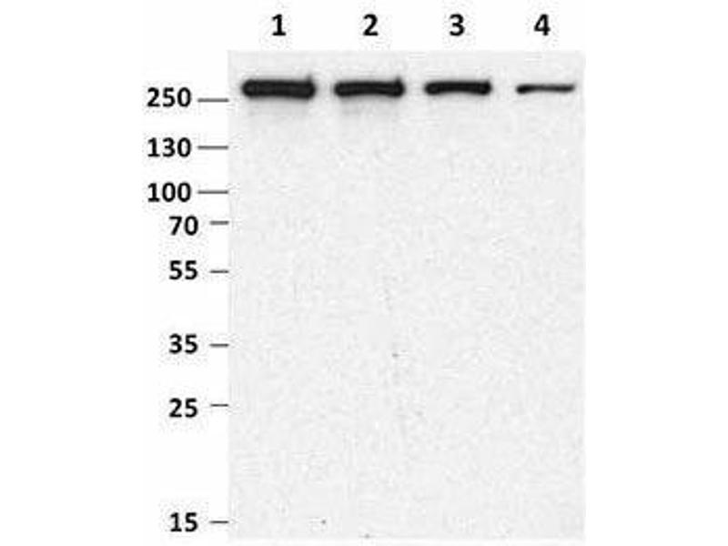 Western Blotting (WB) image for anti-MTOR antibody (Mechanistic Target of Rapamycin (serine/threonine Kinase)) (ABIN2665280)