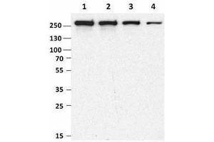 Western Blotting (WB) image for anti-MTOR antibody (Mechanistic Target of Rapamycin (serine/threonine Kinase)) (ABIN2665280)