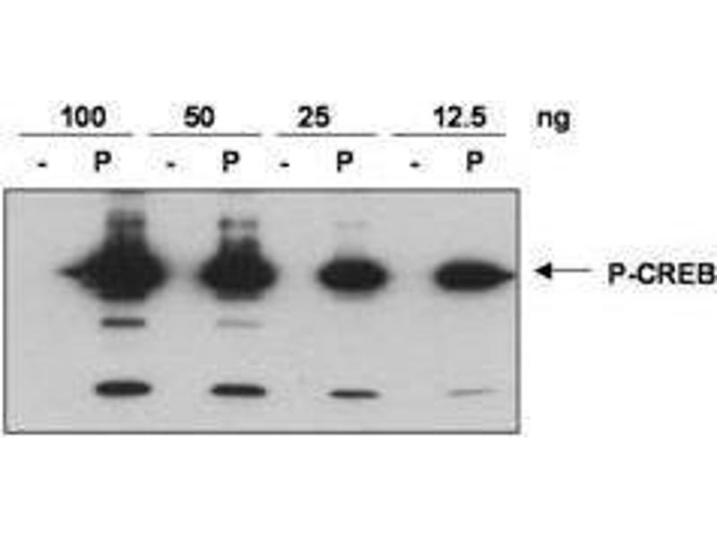 Image no. 1 for anti-cAMP Responsive Element Binding Protein 1 (CREB1) (AA 122-147), (pSer133) antibody (ABIN97863)