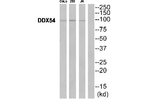 Image no. 1 for anti-DEAD (Asp-Glu-Ala-Asp) Box Polypeptide 54 (DDX54) (Internal Region) antibody (ABIN1576050)