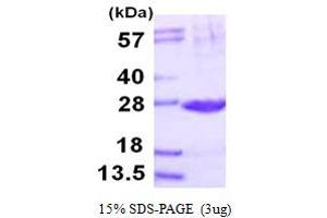 Image no. 1 for Proteasome (Prosome, Macropain) Subunit, beta Type 2 (PSMB2) (AA 1-201) protein (His tag) (ABIN667624)