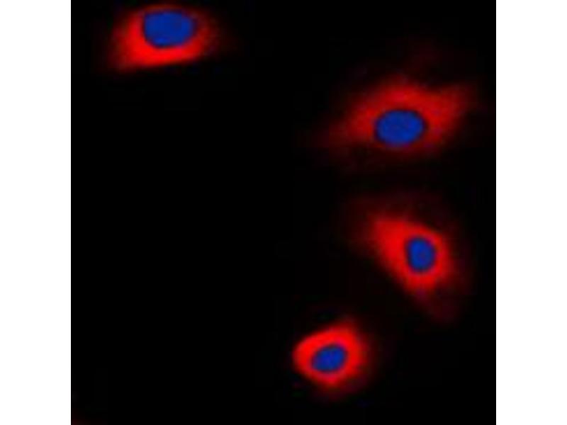 Immunofluorescence (IF) image for anti-Vasodilator-Stimulated phosphoprotein (VASP) (Center) antibody (ABIN2707237)