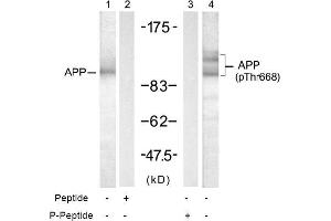 anti-Amyloid beta (A4) Precursor Protein (APP) (pThr668) antibody