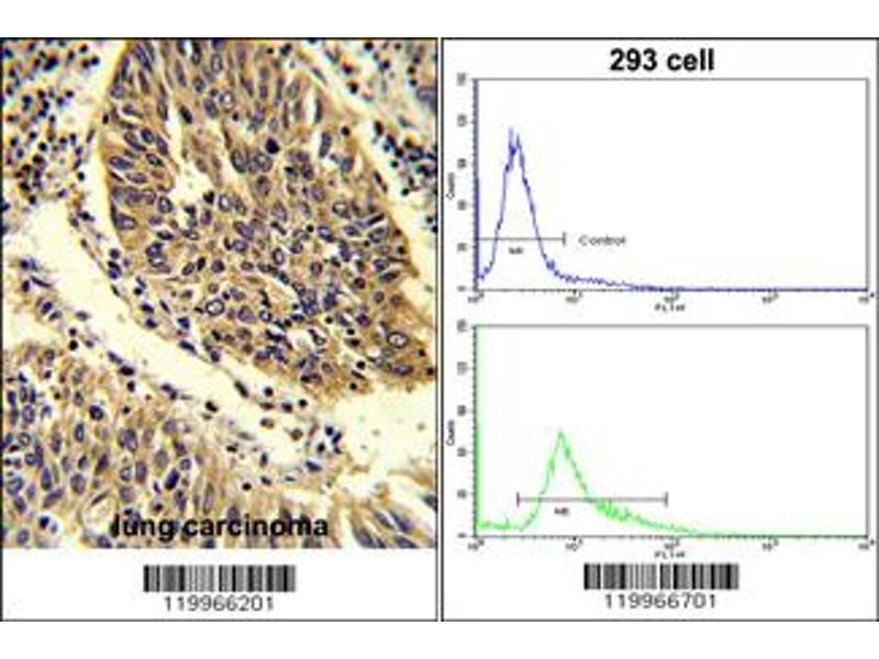 Immunohistochemistry (IHC) image for anti-WNT4 antibody (Wingless-Type MMTV Integration Site Family, Member 4) (C-Term) (ABIN2494152)
