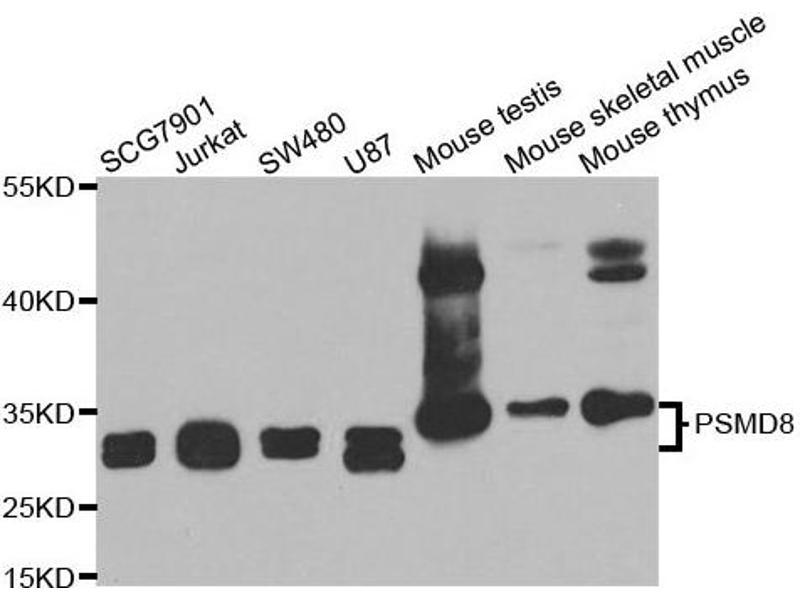 Western Blotting (WB) image for anti-Proteasome (Prosome, Macropain) 26S Subunit, Non-ATPase, 8 (PSMD8) antibody (ABIN2564777)