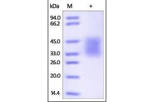 Image no. 1 for Programmed Cell Death 1 (PDCD1) (AA 25-167) (Active) protein (His tag,AVI tag,Biotin) (ABIN2181593)