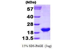 Image no. 1 for BCL2-Like 2 (BCL2L2) (AA 1-172) protein (His tag) (ABIN666929)