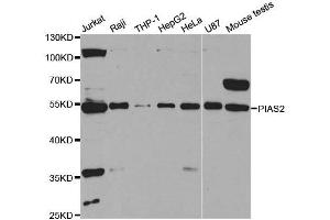 Western Blotting (WB) image for anti-PIAS2 antibody (Protein Inhibitor of Activated STAT, 2) (ABIN1876855)