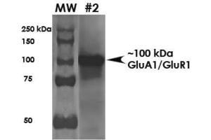 Western Blotting (WB) image for anti-Glutamate Receptor, Ionotropic, AMPA 1 (GRIA1) (N-Term) antibody (ABIN4314576)
