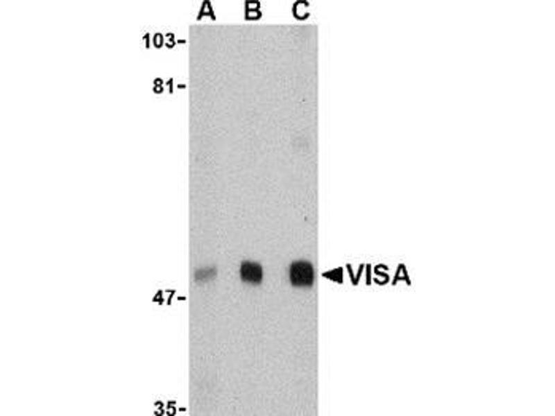 Western Blotting (WB) image for anti-MAVS antibody (Mitochondrial Antiviral Signaling Protein) (N-Term) (ABIN501118)