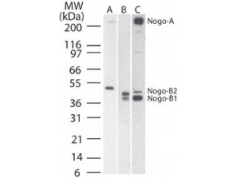 Western Blotting (WB) image for anti-Reticulon 4 (RTN4) antibody (ABIN4340280)