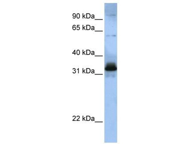 Western Blotting (WB) image for anti-serine/arginine-Rich Splicing Factor 8 (SRSF8) (Middle Region) antibody (ABIN405374)