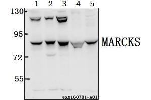 Image no. 1 for anti-Myristoylated Alanine-Rich Protein Kinase C Substrate (MARCKS) (AA 125-175) antibody (ABIN6713001)