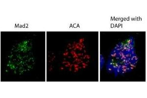 Immunofluorescence (IF) image for anti-MAD2 Mitotic Arrest Deficient-Like 1 (Yeast) (MAD2L1) (C-Term) antibody (ABIN441319)