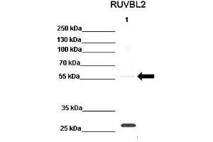 Image no. 4 for anti-RuvB-Like 2 (E. Coli) (RUVBL2) (N-Term) antibody (ABIN2779601)