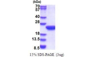 Image no. 1 for Polymerase (RNA) II (DNA Directed) Polypeptide F (POLR2F) (AA 1-127) protein (His tag) (ABIN5853661)