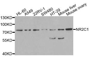 Image no. 1 for anti-Nuclear Receptor Subfamily 2, Group C, Member 1 (NR2C1) antibody (ABIN6144809)