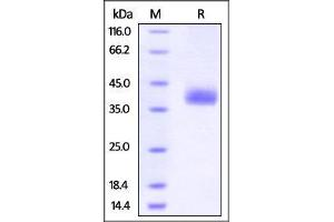 Image no. 1 for CD274 Molecule (CD274) (AA 19-238) (Active) protein (AVI tag,Biotin,His tag) (ABIN2870558)