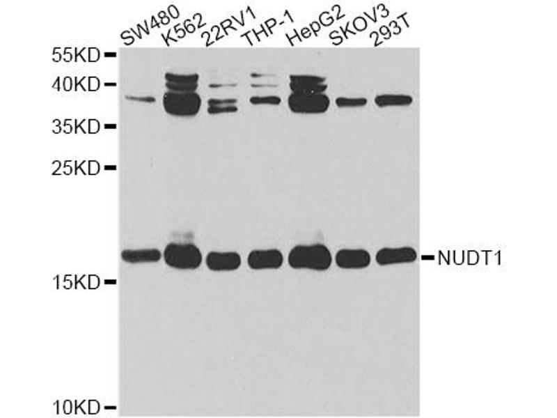 Image no. 2 for anti-Nudix (Nucleoside Diphosphate Linked Moiety X)-Type Motif 1 (NUDT1) antibody (ABIN6567883)