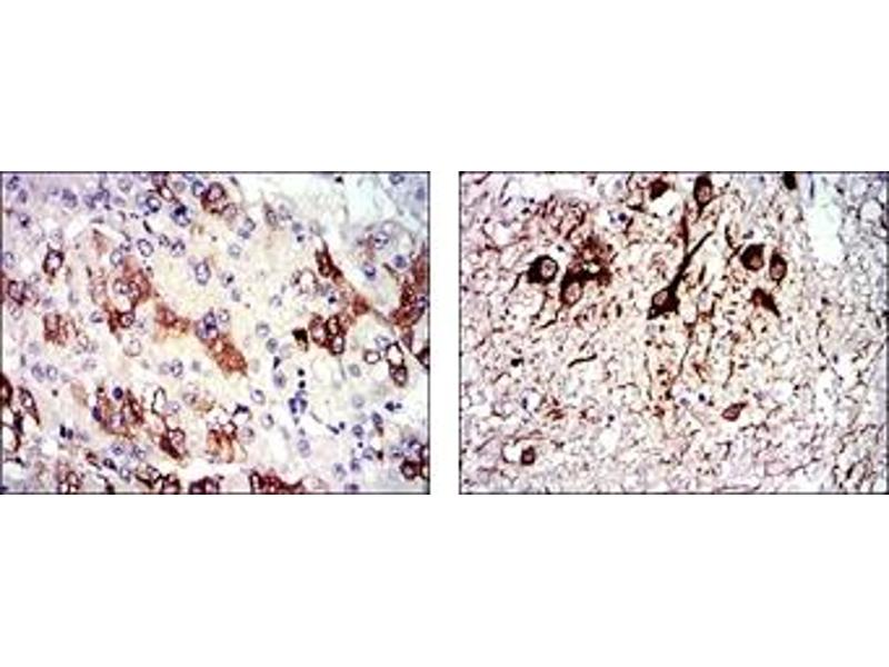 Immunohistochemistry (IHC) image for anti-Tubulin, alpha 8 (TUBA8) antibody (ABIN1109365)