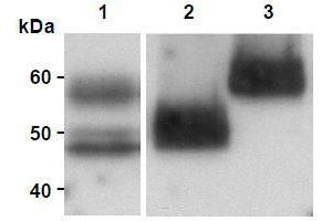 Western Blotting (WB) image for anti-MFGE8 antibody (Milk Fat Globule-EGF Factor 8 Protein) (ABIN1449223)