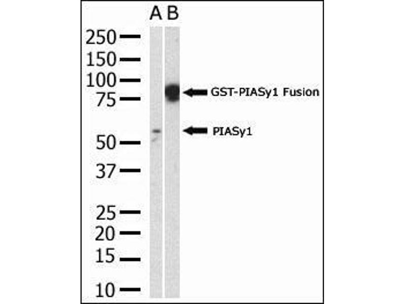 Western Blotting (WB) image for anti-PIAS4 antibody (Protein Inhibitor of Activated STAT, 4) (AA 48-79) (ABIN388061)