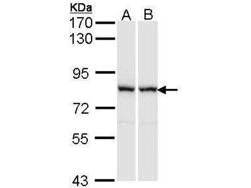 Western Blotting (WB) image for anti-Rac GTPase Activating Protein 1 (RACGAP1) (N-Term) antibody (ABIN2856889)