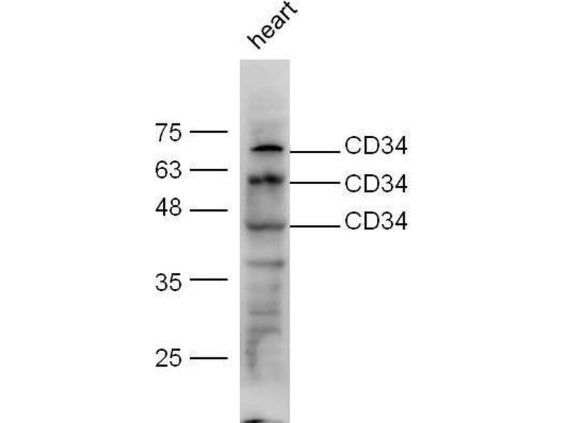 Western Blotting (WB) image for anti-CD34 Molecule (CD34) antibody (ABIN1713693)