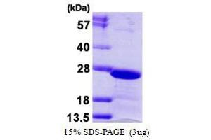 Image no. 1 for Chromobox Homolog 3 (CBX3) protein (His tag) (ABIN1098593)
